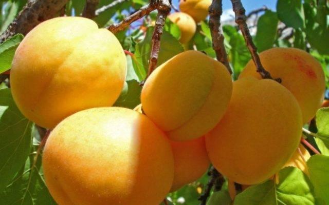 Абрикос черный: описание, сорта, технология выращивания + фото, отзывы
