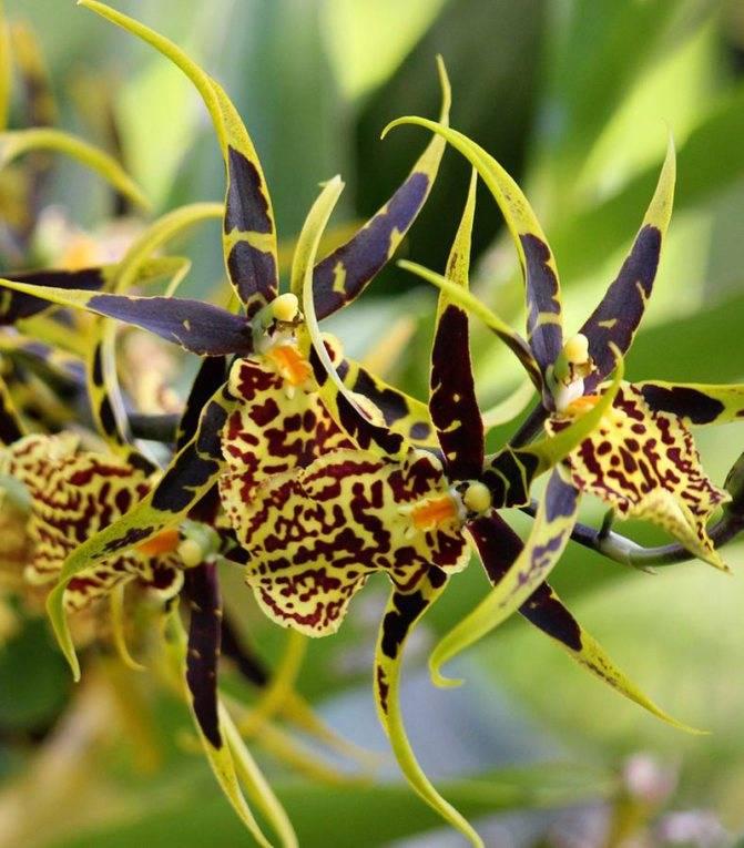 Особенности выращивания орхидеи камбрия в домашних условиях