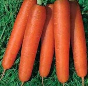 Морковь форто: каковы свойства и состав продукта, как и где его выращивают, в чём отличие от других видов? русский фермер