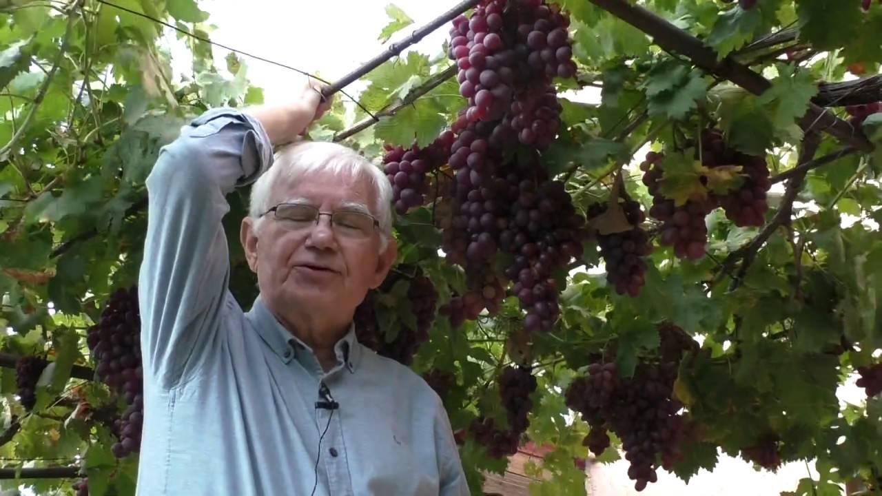 Все о сорте винограда «декабрьский»