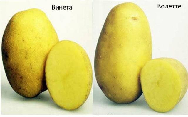 Проверенный временем картофель «розана»: описание сорта, фото, характеристика