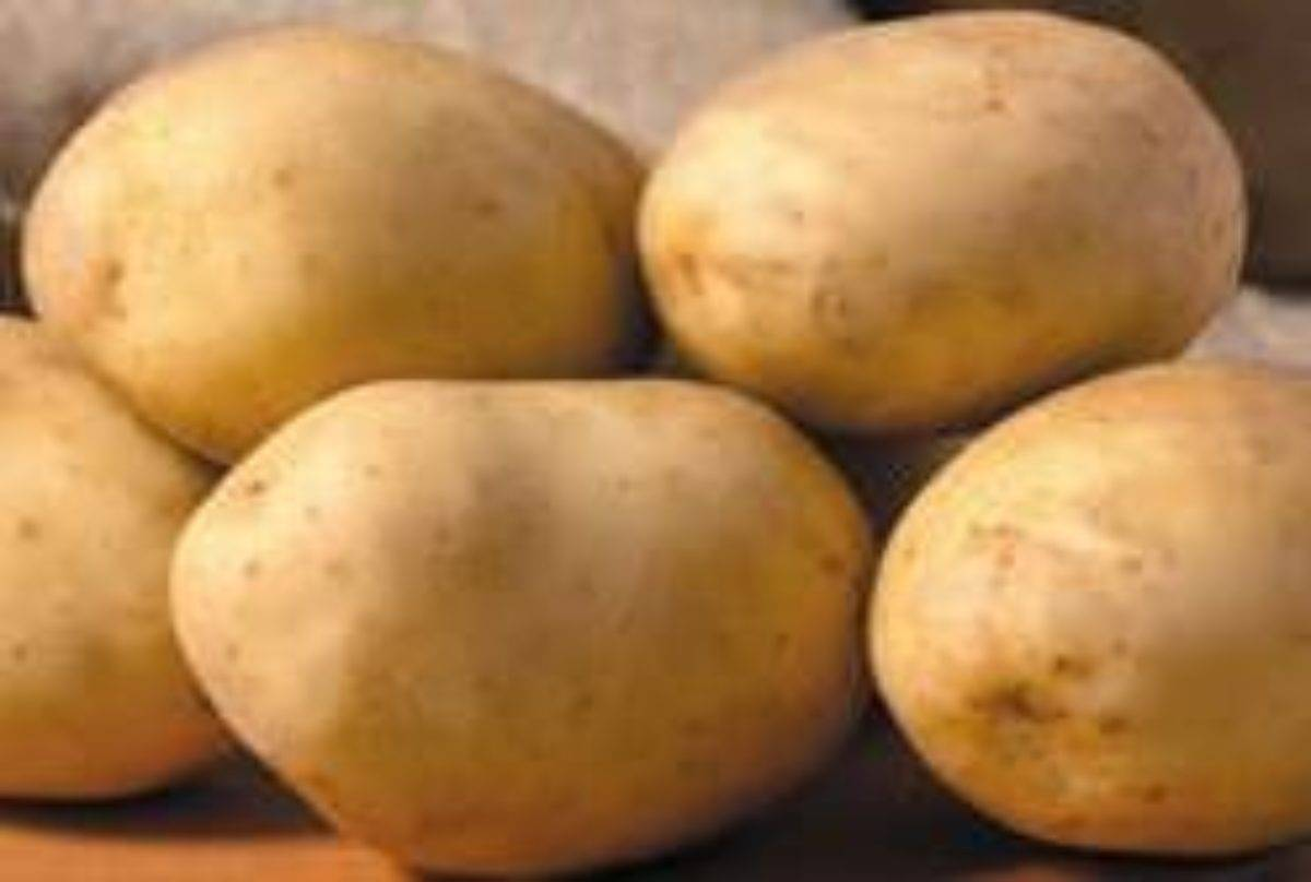 Картофель бриз: характеристика сорта, отзывы, вкусовые качества