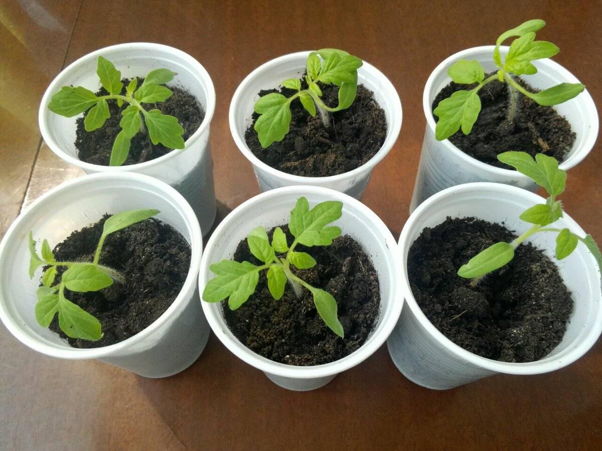 Правила обработки рассады помидоров