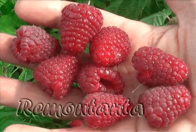 Описание сорта малины Джоан Джей — особенности посадки