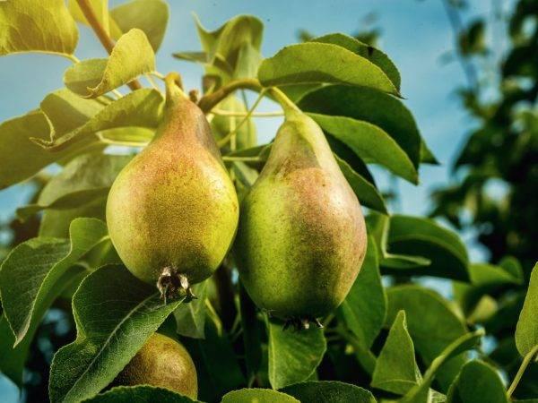 Сорт груши «ноябрьская»: характеристика, секреты успешного выращивания