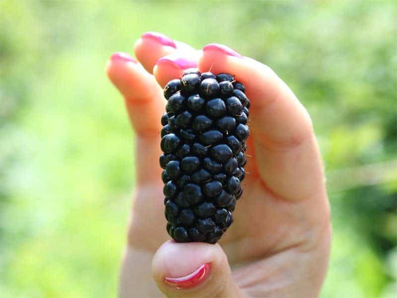 Сорт ежевики карака блэк, описание сорта с характеристикой и отзывами, а также особенности посадки и выращивания, фото