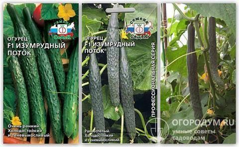 Сорт огурцов изумрудный поток, описание, характеристика и отзывы, а также особенности выращивания