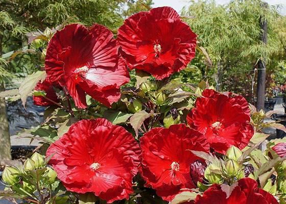 Гибискус садовый древовидный и травянистый: фото, посадка, уход, и размножение кустарников гибискуса в саду