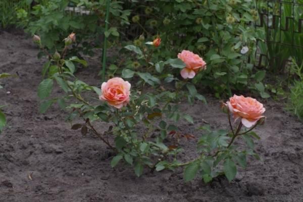Розы (кустовые): посадка, уход, размножение
