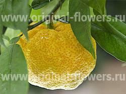 Самое главное о фрукте юзу: описание и способы применения