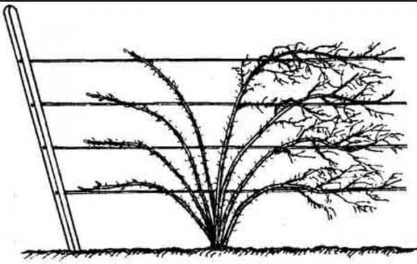 Посадка и уход за крыжовником: как весной правильно посадить