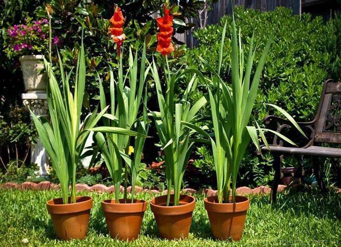 Гладиолусы в горшке: технология выращивания | cельхозпортал