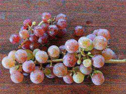 Виноград кишмиш запорожский или как вырастить хороший опылитель
