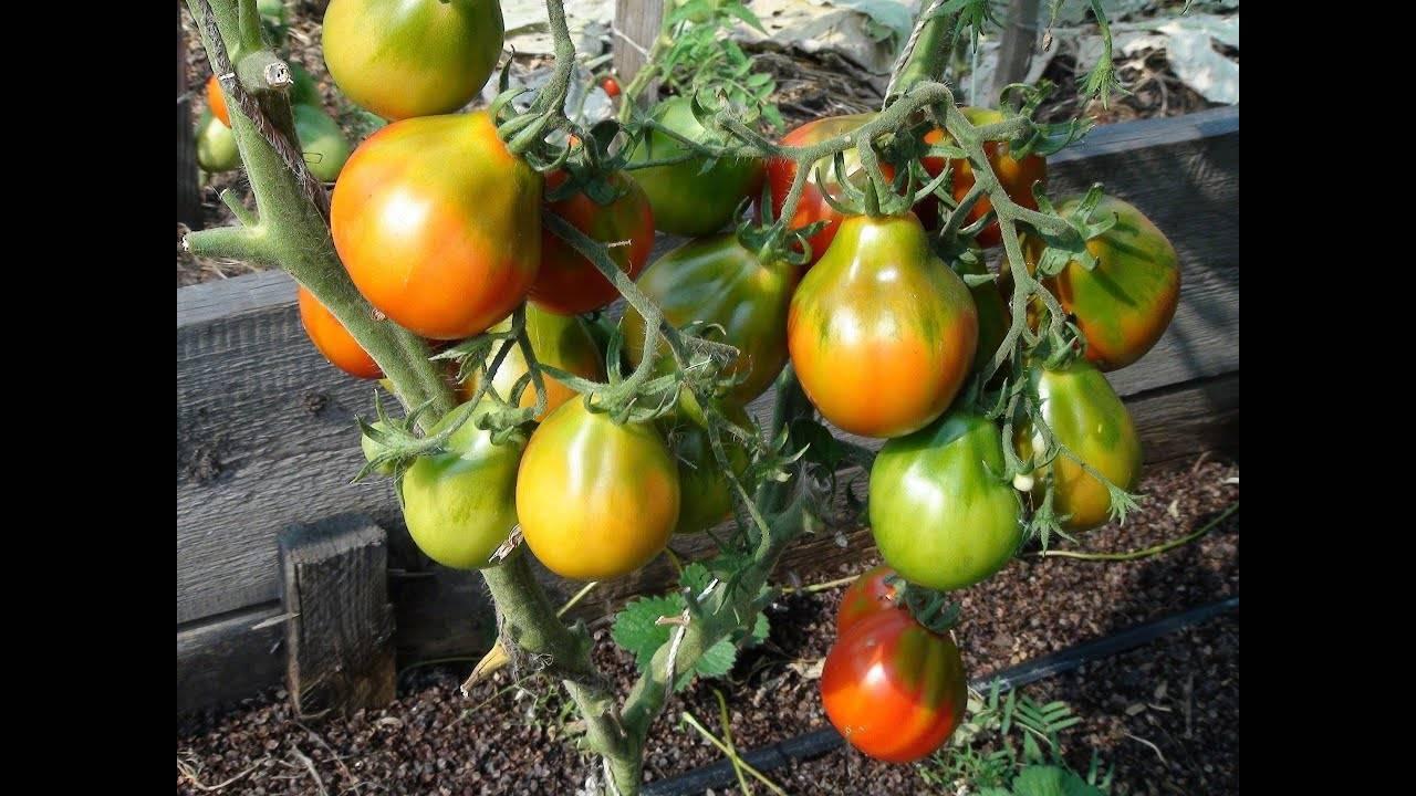 Формирование куста помидоров в теплице > видео + фото