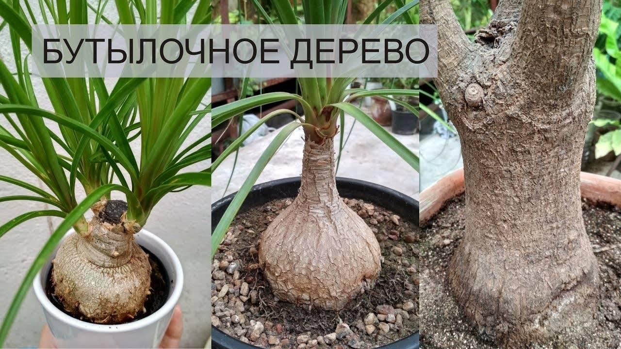 Нолина (42 фото): уход в домашних условиях. почему цветок нолина ещё называют бокарнея, «слоновая нога» и «бутылочное дерево»? пересадка и размножение комнатного растения