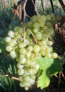 Лучшие сорта синего, зеленого и розового винограда, их описание и характеристика