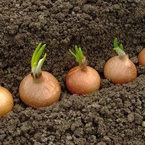 Обработка лука перед посадкой: в чем замочить лук севок и нужно ли