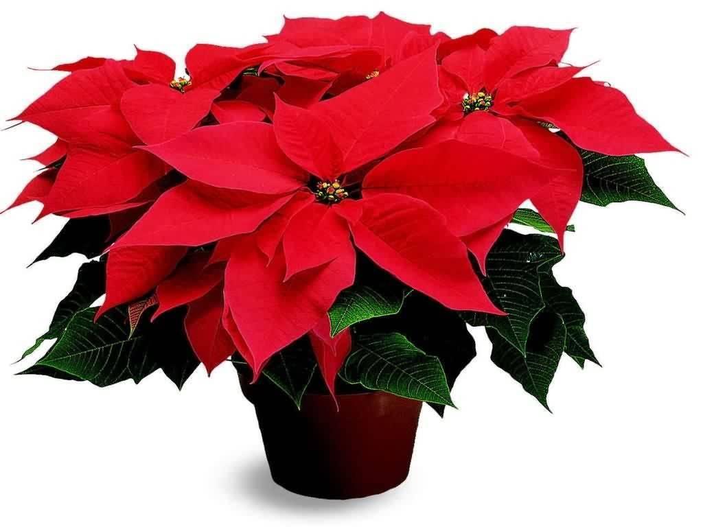 Цветок пуансеттия: уход в домашних условиях, рекомендации