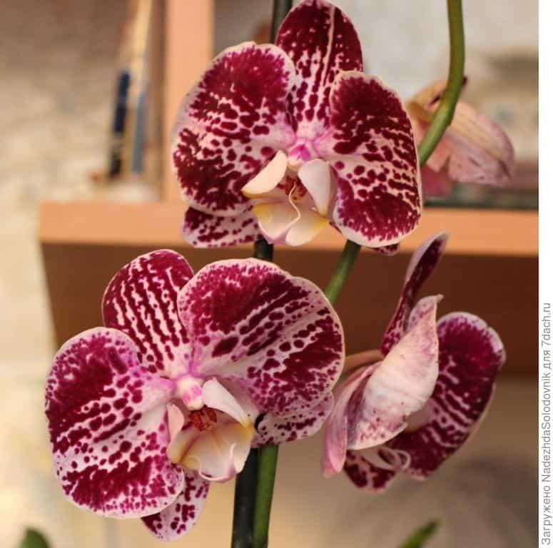 Цветонос у орхидеи: как появляется, как долго растет, почему не выпускает?