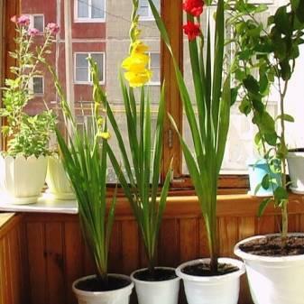 Посадка и уход за гладиолусами (40 фото): как сажать в открытом грунте и ухаживать за ними весной? как выращивать на урале? правильная подготовка луковиц к зиме