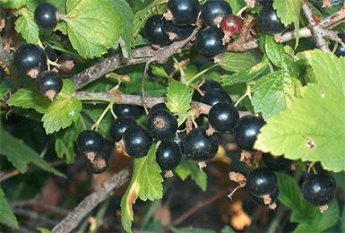 Смородина черный жемчуг: описание сорта и характеристики, посадка и уход с фото
