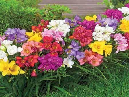 Цветок фрезия: посадка и уход в открытом грунте, фото махровой фрезии
