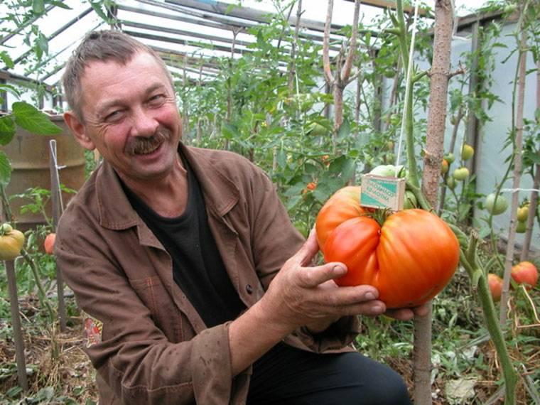 Описание сорта томата Вова Путин — как поднять урожайность