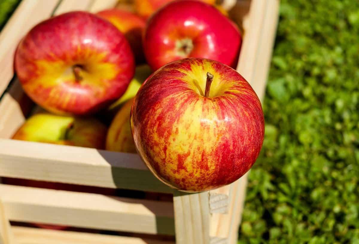 Поздние сорта яблонь: подробное описание и фото