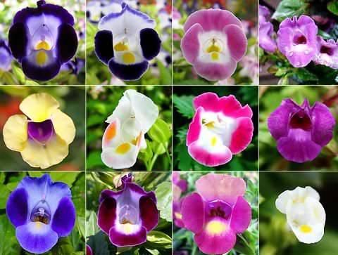 Торения выращивание из семян в домашних условиях - theflowers