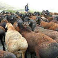 Эдильбаевская порода овец (32 фото): особенности курдючных баранов, содержание и уход за ягнятами, размножение породы