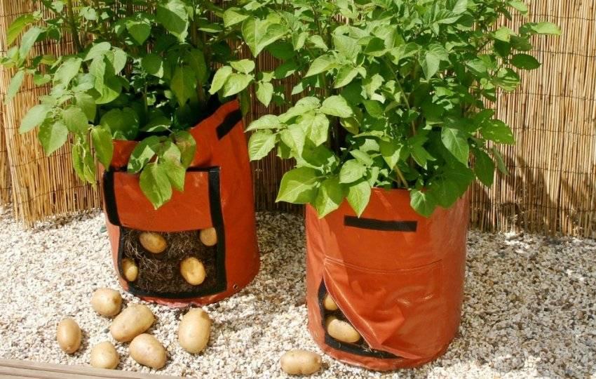 Выращивание картофеля в бочке: правильная технология и последующий уход, плюсы и минусы, а так же выбор подходящих клубней, инструментов, земли и удобрения русский фермер