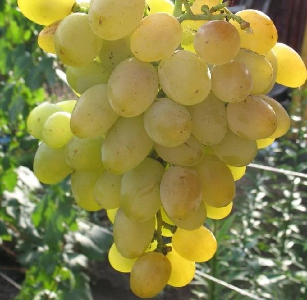 Обзор сорта винограда краса никополя