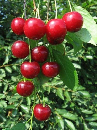 Чудо-вишня: что это такое, описание сорта, выращивание, отзывы