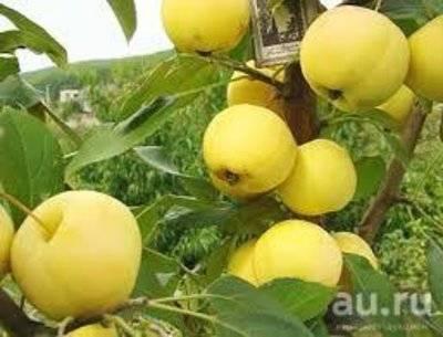 Характеристика сорта яблонь Уральское наливное