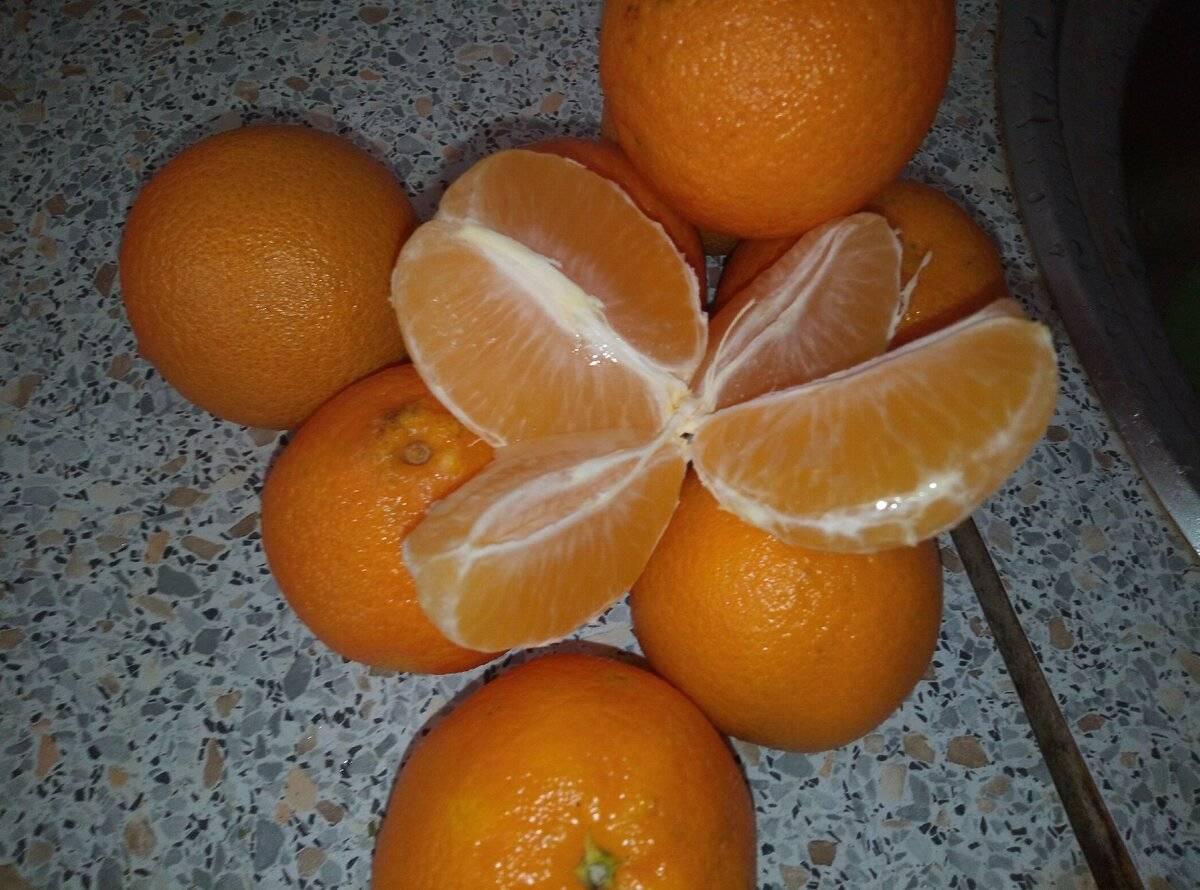 Абхазские мандарины как отличить, сорта и разновидности мандаринов