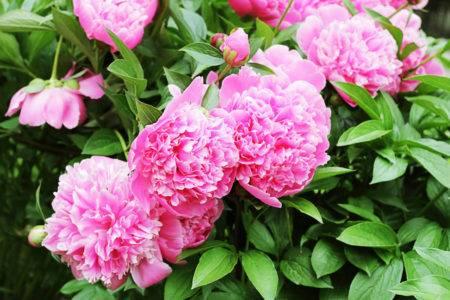 Уход за пионами осенью и подготовка к зиме (15 фото): как до весны сохранить купленные в феврале цветы в домашних условиях? как их обрезать и подготовить к зимовке? как укрыть пионы?