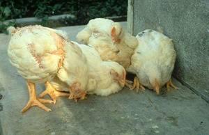 Птичий грипп - причины и патогенез   компетентно о здоровье на ilive