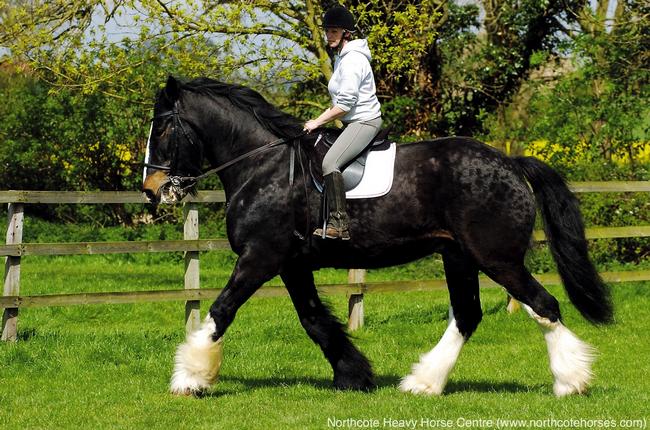 Самая большая лошадь в мире фото - topkin | 2021