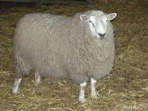 Тексель — мясошерстная порода овец с отличными характеристиками