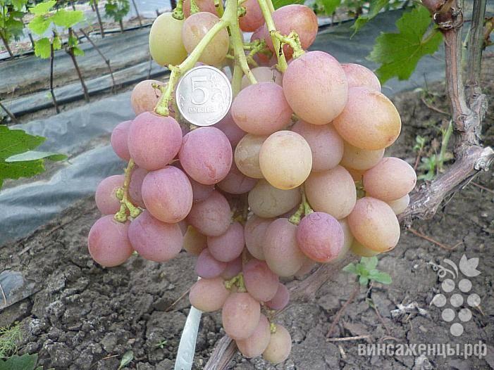 Виноград изюминка: описание сорта с характеристикой и отзывами, особенности посадки и выращивания, фото