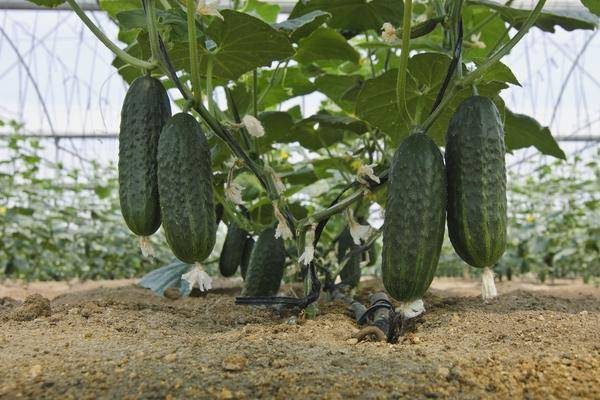 Чем подкормить огурцы для роста в теплице - 5 народных рецептов | красивый дом и сад