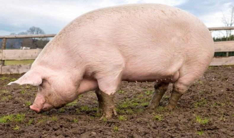 Сколько должна весить свинья: влияние породы на массу тела, простые методики измерения веса