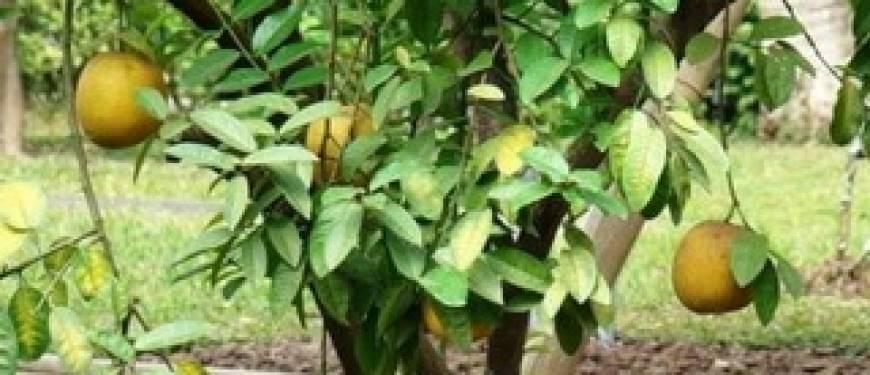 Помело — польза и противопоказания, как есть помело и как растет помело в домашних условиях