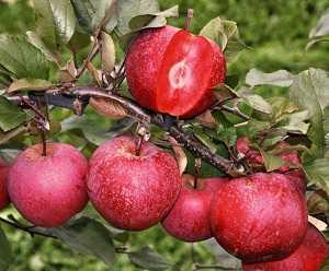 Розовый жемчуг —сорт яблок с розовой мякотью
