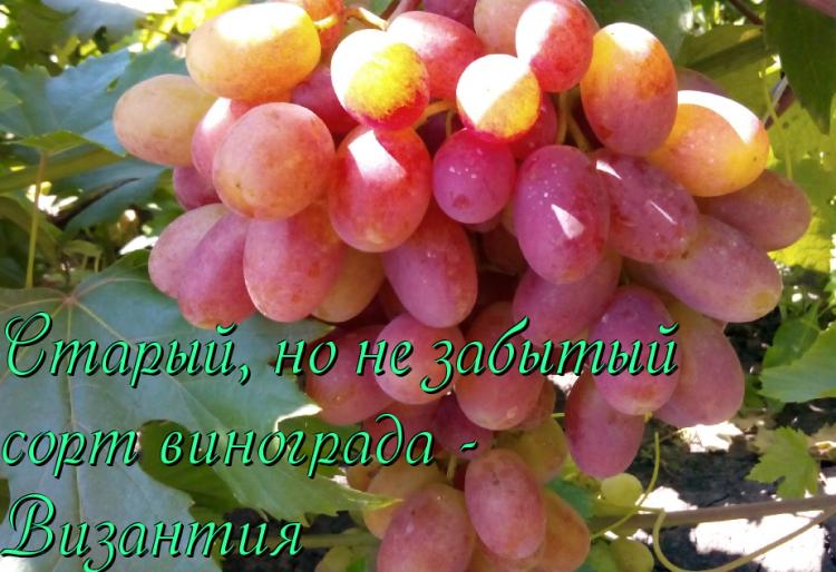 Виноград дамские пальчики описание сорта хусайне белый, характеристика, особенности выращивания