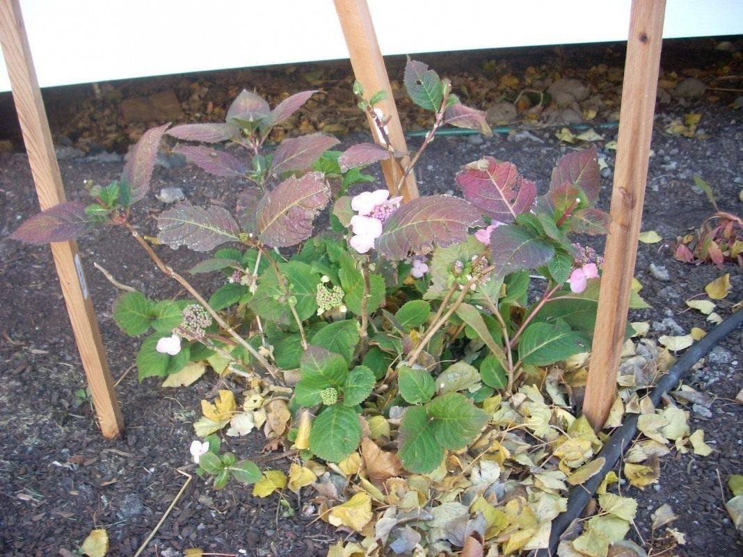 Уход за гортензией: как укрыть и подготовить к зиме в открытом грунте
