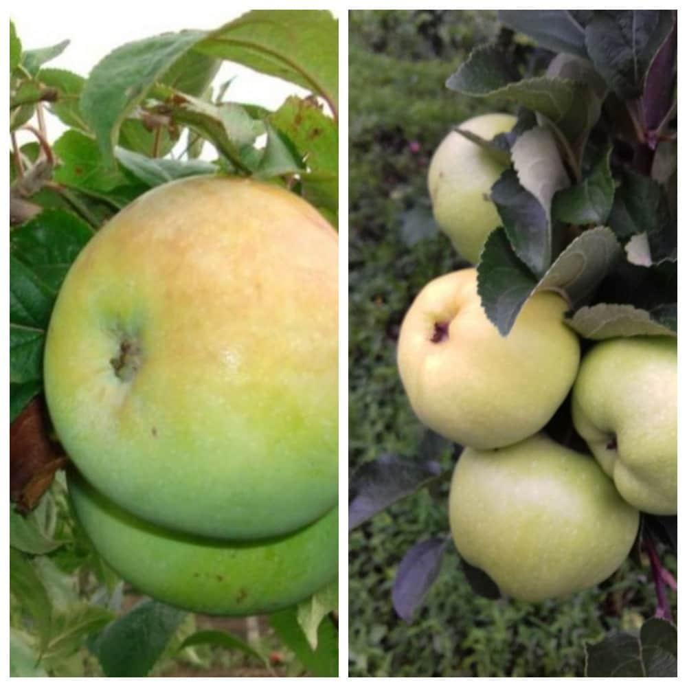 Описание сорта яблони московское позднее: фото яблок, важные характеристики, урожайность с дерева
