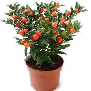 Растение соланум с декоративным урожаем: как вырастить многолетник в домашних условиях