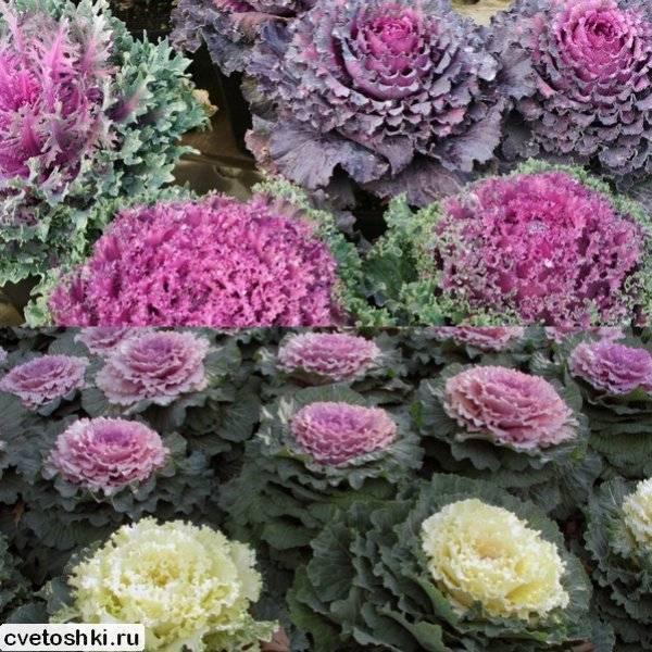 Декоративная капуста в ландшафтном дизайне: сорта и виды с фото, посадка, советы по выращиванию и уходу