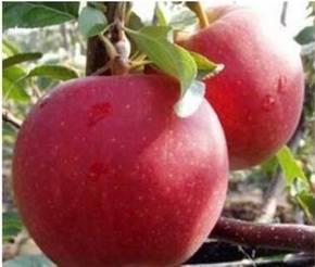 Яблоки слава победителю - описание и характеристики сорта, посадка и уход, болезни